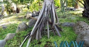 درخت socratea exorrhiza  احتمالا تنها درخت متحرک جهان است