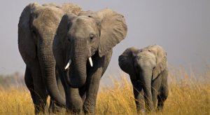 Article Africanelephant BeverlyJoubert 300x164 - در حیاتوحش چ گذشت...